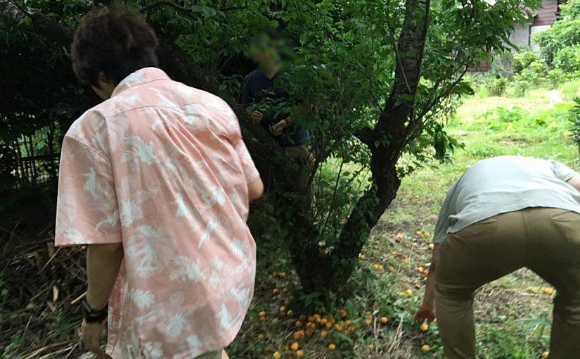 梅狩り。オジさんたちの農業体験 #オジ旅