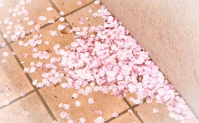 4月前半がおすすめ!ハワイアンズの見事な桜 #オジ旅PR #ハワイアンズ