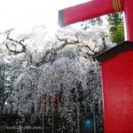小川諏訪神社のしだれさくら